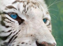 Auge des Tigers Lizenzfreies Stockfoto