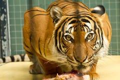 Auge des Tigers Lizenzfreie Stockfotografie