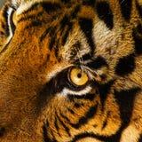 Auge des Tigers Stockfoto