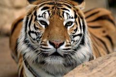 Auge des Tigers Stockfotografie