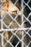 Auge des Tigers im Käfig heftig Stockfotografie