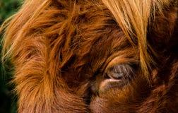 Auge des Viehs eines Hochlands Stockfotografie