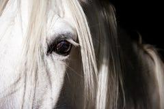 Auge des weißen Pferds Stockfotografie