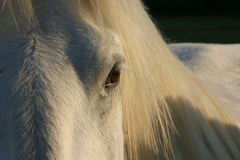 Auge des weißen Pferds Stockbilder