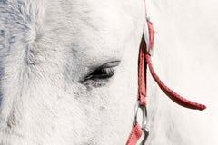 Auge des weißen Pferds Stockfotos