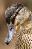Auge einer Ente Lizenzfreie Stockfotos