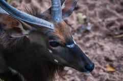 Auge einer jungen männlichen kudu Antilope Lizenzfreies Stockfoto