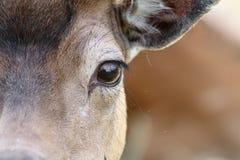 Auge eines Damhirschs stockbilder