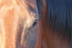 Auge eines Quarterhorsen Lizenzfreie Stockfotografie