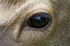 Auge eines Rotwilds Lizenzfreie Stockbilder