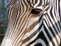 Auge eines Zebras Stockfoto