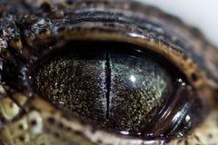 Auge von Junges Nil-Krokodil Crocodylus niloticus mit einer schmalen Pupille im hellen Licht wird ein wenig durch a geschlossen lizenzfreies stockfoto