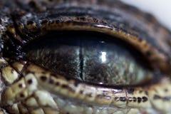 Auge von Junges Nil-Krokodil Crocodylus niloticus mit einer schmalen Pupille im hellen Licht wird vollständig durch ein schützend lizenzfreies stockbild