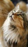Augen der Katze Lizenzfreies Stockfoto
