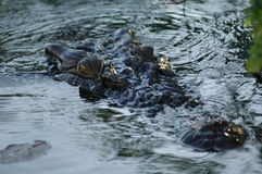 Augen des Krokodils Stockfotos