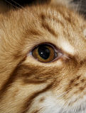 Augen des rauhaarigen langhaarigen weißen Rotes streiften Katze ab Lizenzfreies Stockfoto
