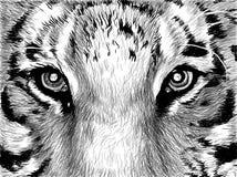 Augen des Tigers Stockfotos