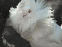 Augen einer Taube Stockfotografie