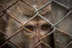 Augen eines Affen stockbild