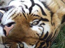 Augen eines Tigers Stockbilder