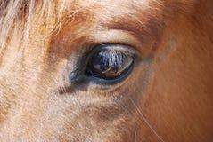 Augen- und Wimperpferde Stockfoto