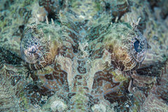 Augen von Crocodilefish Stockbilder