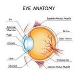 Augenanatomie lizenzfreie abbildung