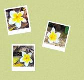 Augenblickfoto mit 3 Frangipani Stockfotos
