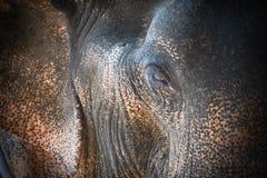 Augenelefant und -haut Stockbilder