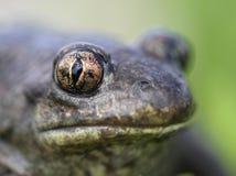 Augenmakro der Spadefoot Kröte - vertikale Pupille stockfotos
