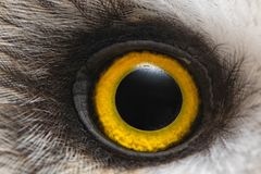 Augennahaufnahme der Eule, Makrofoto, Auge der Sumpfohreule, Asio flammeus stockbilder