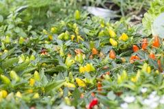 Augenpaprika des Vogels wachsen im Garten lizenzfreies stockfoto