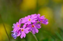Augenprimel des Vogels (Primula mehlhaltig) Lizenzfreie Stockbilder