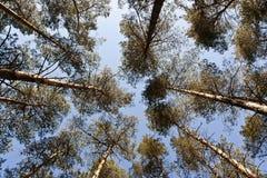 Augmentation élevée d'arbres de pin Image libre de droits