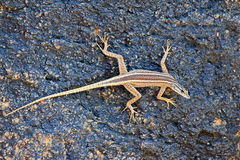 Augrabies flat lizard female Stock Images