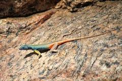 Augrabies flat lizard Stock Image
