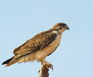 The Augur Buzzard Royalty Free Stock Image