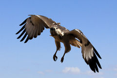 Augur Buzzard Stock Photos