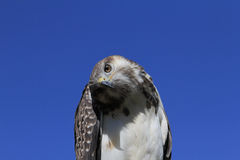 Augur Buzzard Royalty Free Stock Image