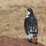 Augur buzzard Royalty Free Stock Photography