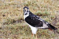 Augur Buzzard in Ngorongoro Royalty Free Stock Photo