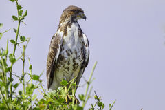 Augur Buzzard Perched Royalty Free Stock Photography