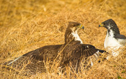 Augur Buzzards clashing Royalty Free Stock Image