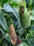 august 4084 kukurydza zdjęcie stock