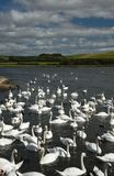 August 12, 2017, Abottsbury, Dorset, The United Kingdom. Food is tossed to the mute swans at the largest swannery in the world. This was taken on a trip along stock photos