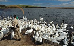August 12, 2017, Abottsbury, Dorset, The United Kingdom. Food is tossed to the mute swans at the largest swannery in the world. . August 12, 2017, Abottsbury stock photos