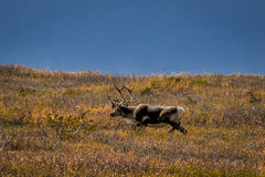 August 27, 2016 - Bull Caribou feeding on tundra in interior of Denali National Park, Alaska Royalty Free Stock Photo