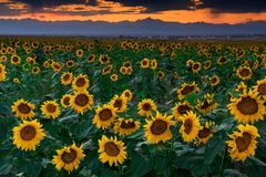 August Sunflowers In Colorado royalty free stock image
