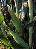 August Corn-1202 Royalty Free Stock Photo