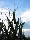 August Corn-4077 Royalty Free Stock Photography